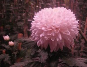 Дека цветок