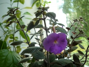 цветущее комнатное растение