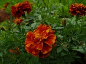 цветок тагетес