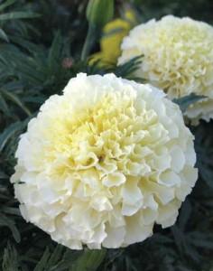 цветок тагетес белый