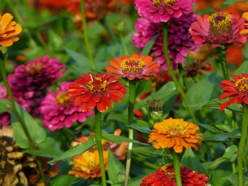 Георгина цветок и уход за ними