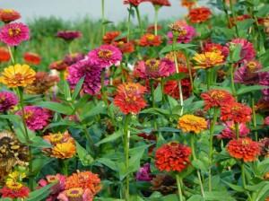 яркие цветы цинии