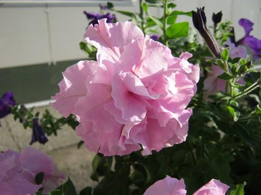 Петунья цветы уход в 18