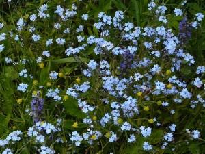 цветы незабудки