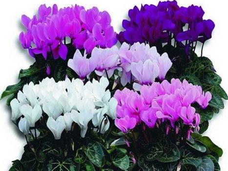 Уход за цветами в домашних условиях цикламен