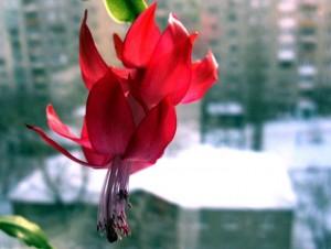 красный цветок декабриста