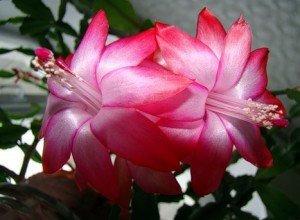 цветок декабрист